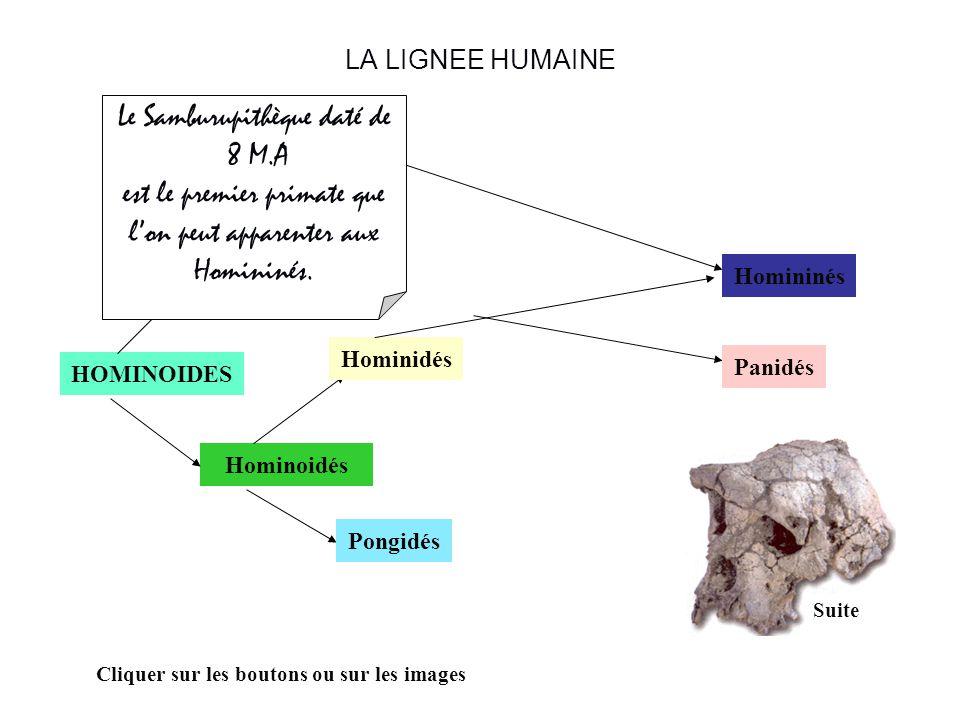 LA LIGNEE HUMAINE HOMINOIDES Hominoidés Hylobatidés Hominidés Pongidés Panidés Cliquer sur les boutons ou sur les images On ne trouve pas de Panidés f