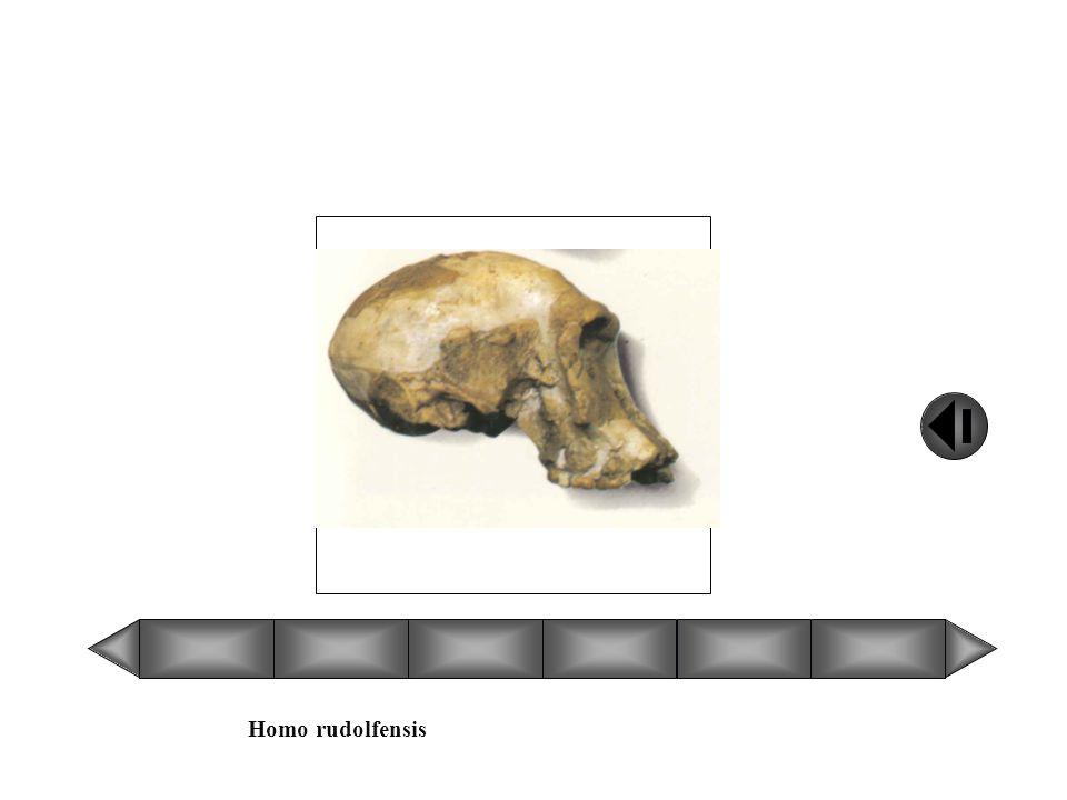 Homo rudolfensis Faites glisser le curseur pour faire dérouler le menu Comparaison des crânes des hominidés dun point de vue évolutif