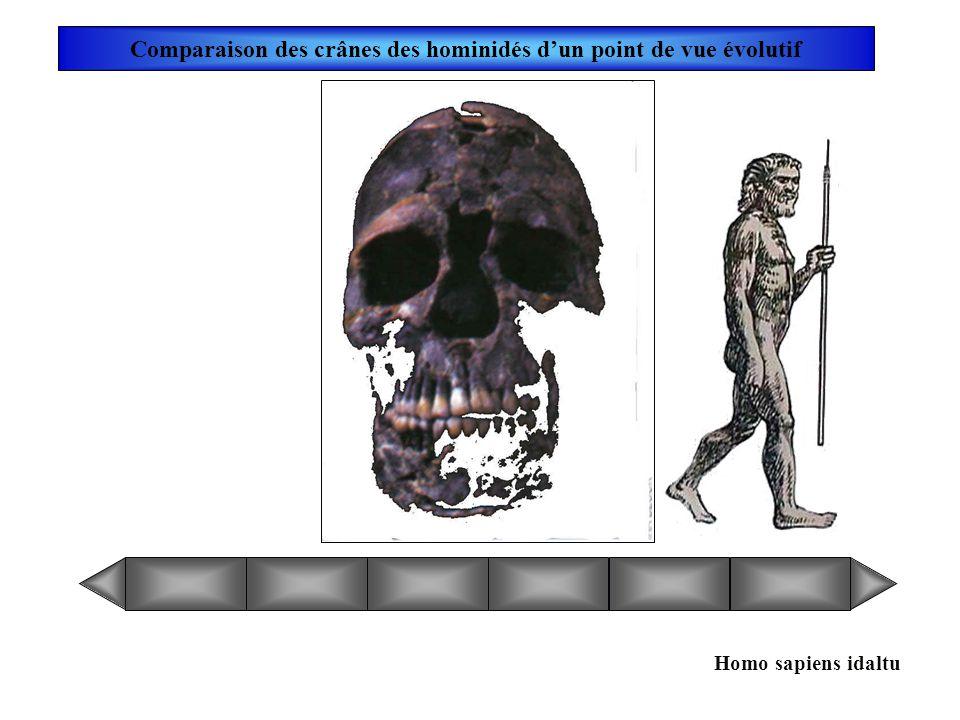 Homo heidelbergensis Comparaison des crânes des hominidés dun point de vue évolutif