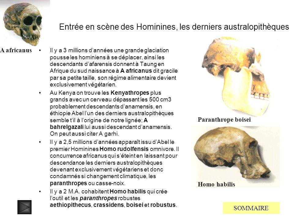 Entrée en scène des Australopithèques On trouve énormément de fossiles datés de quatre millions dannées regroupés dans le genre Australopithecus, on l