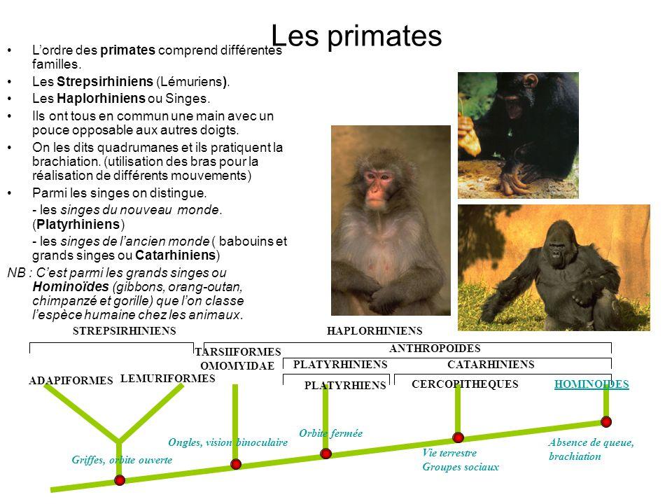 Les primates Lordre des primates comprend différentes familles.