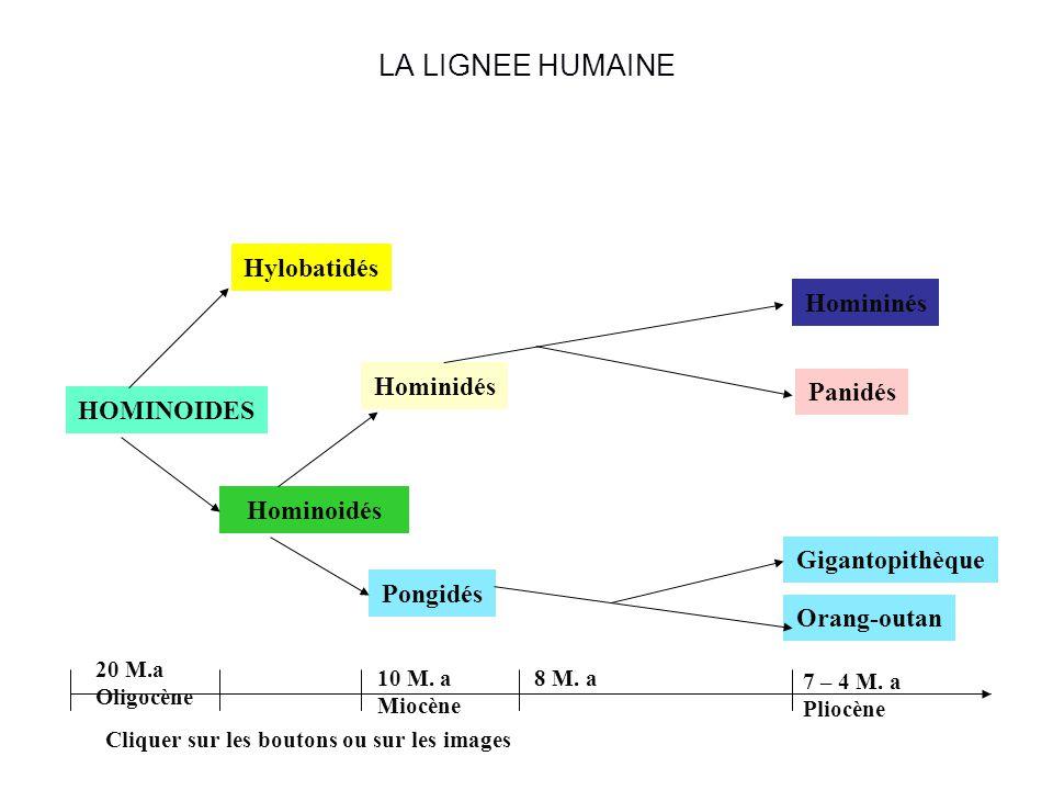 Les primates Lordre des primates comprend différentes familles. Les Strepsirhiniens (Lémuriens). Les Haplorhiniens ou Singes. Ils ont tous en commun u