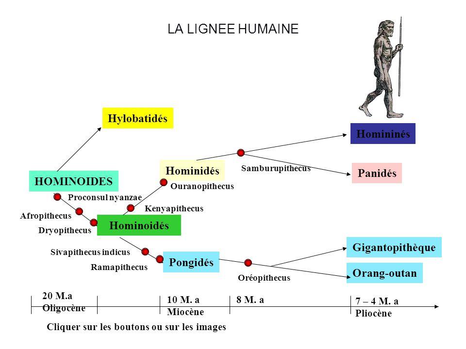LA LIGNEE HUMAINE HOMINOIDES Hominoidés Hylobatidés Hominidés Pongidés Homininés Panidés Orang-outan Gigantopithèque Cliquer sur les boutons ou sur les images 20 M.a Oligocène 10 M.