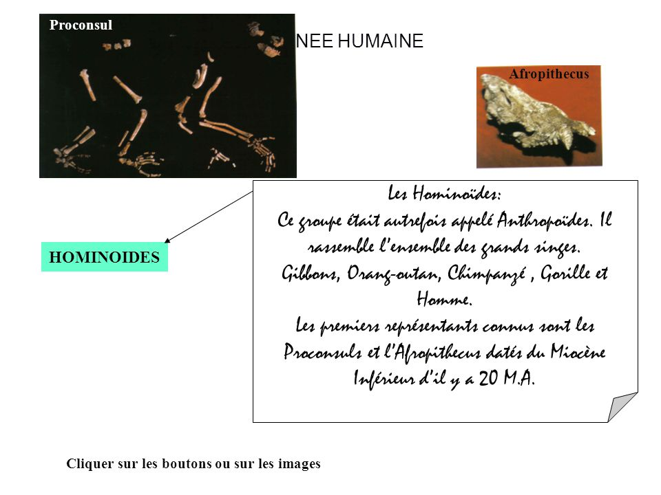 LA LIGNEE HUMAINE HOMINOIDES Cliquer sur les boutons ou sur les images Les Hominoïdes: Ce groupe était autrefois appelé Anthropoïdes.