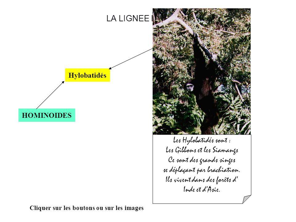 LA LIGNEE HUMAINE HOMINOIDES Hylobatidés Cliquer sur les boutons ou sur les images Les Hylobatidés sont : Les Gibbons et les Siamangs Ce sont des grands singes se déplaçant par brachiation.