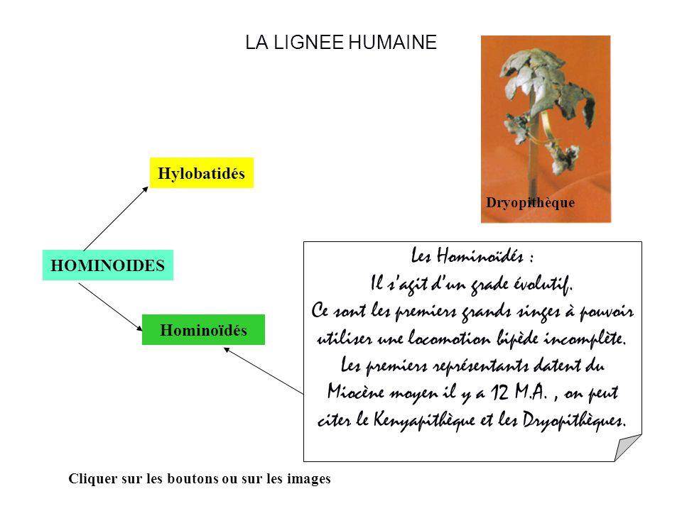 LA LIGNEE HUMAINE HOMINOIDES Hominoïdés Hylobatidés Cliquer sur les boutons ou sur les images Les Hominoïdés : Il sagit dun grade évolutif.