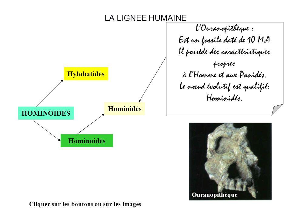 LA LIGNEE HUMAINE HOMINOIDES Hominoidés Hylobatidés Hominidés Cliquer sur les boutons ou sur les images LOuranopithèque : Est un fossile daté de 10 M.A Il possède des caractéristiques propres à lHomme et aux Panidés.