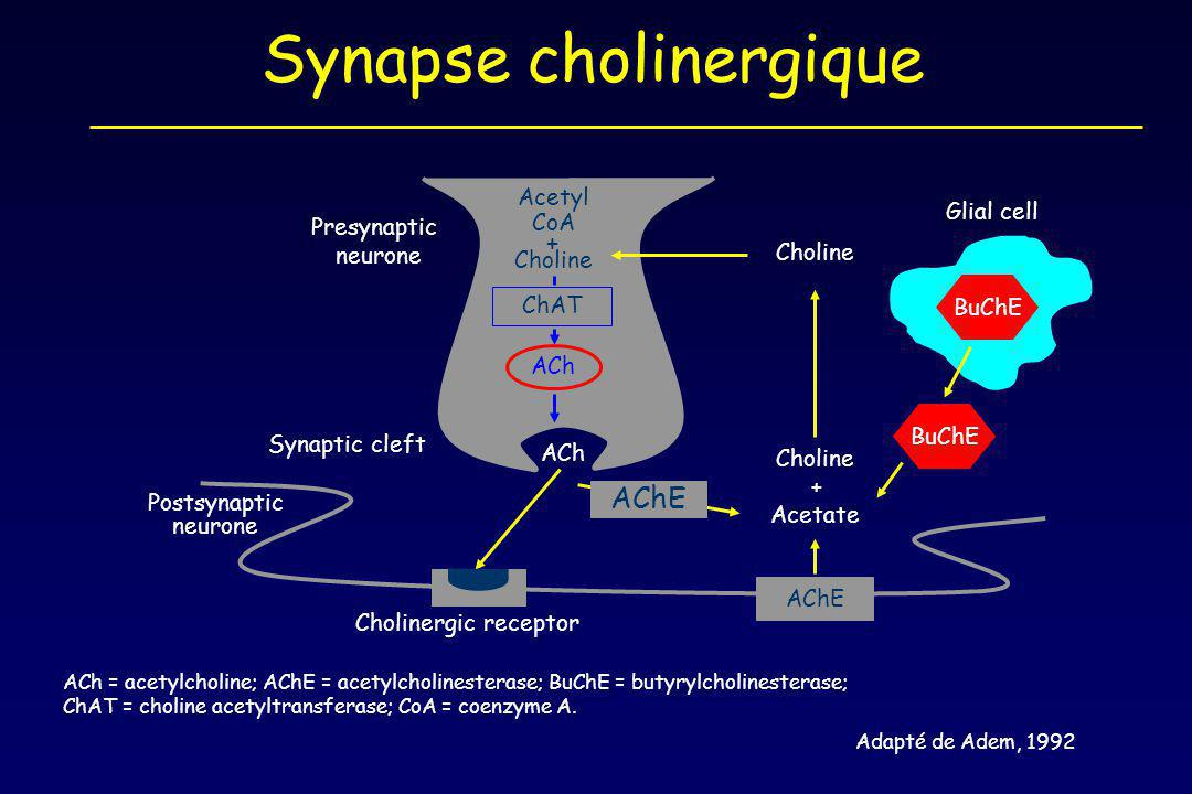 ACh = acetylcholine; AChE = acetylcholinesterase; BuChE = butyrylcholinesterase; ChAT = choline acetyltransferase; CoA = coenzyme A.