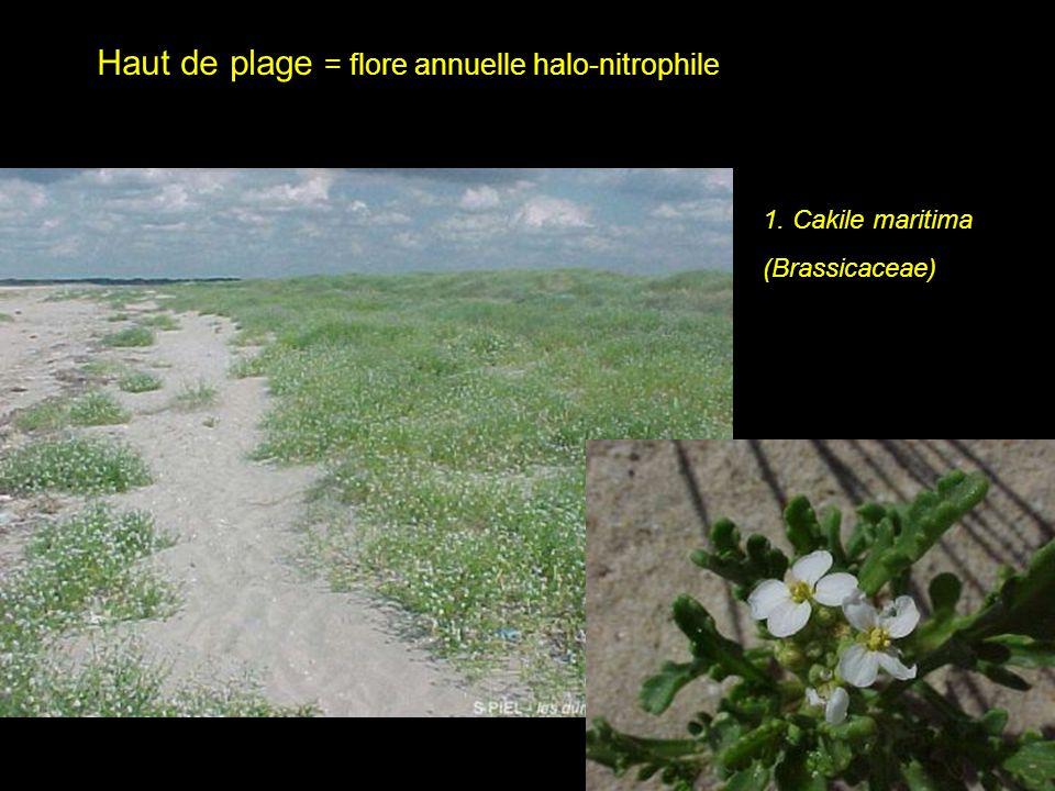 Haut de plage = flore annuelle halo-nitrophile 1. Cakile maritima (Brassicaceae)