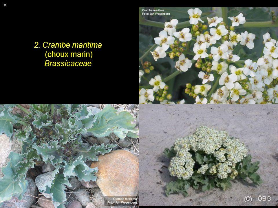 2. Crambe maritima (choux marin) Brassicaceae