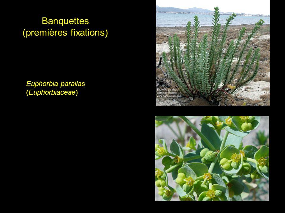 Banquettes (premières fixations) Euphorbia paralias (Euphorbiaceae)