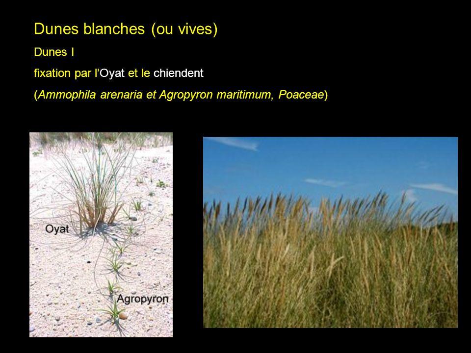 Dune vives I Dunes blanches (ou vives) Dunes I fixation par lOyat et le chiendent (Ammophila arenaria et Agropyron maritimum, Poaceae)