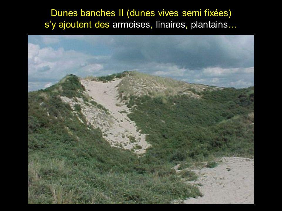 Dunes banches II (dunes vives semi fixées) sy ajoutent des armoises, linaires, plantains…