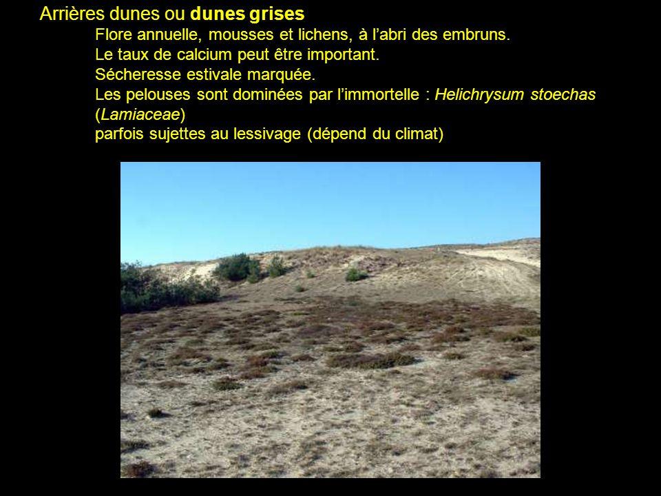 Arrières dunes ou dunes grises Flore annuelle, mousses et lichens, à labri des embruns. Le taux de calcium peut être important. Sécheresse estivale ma