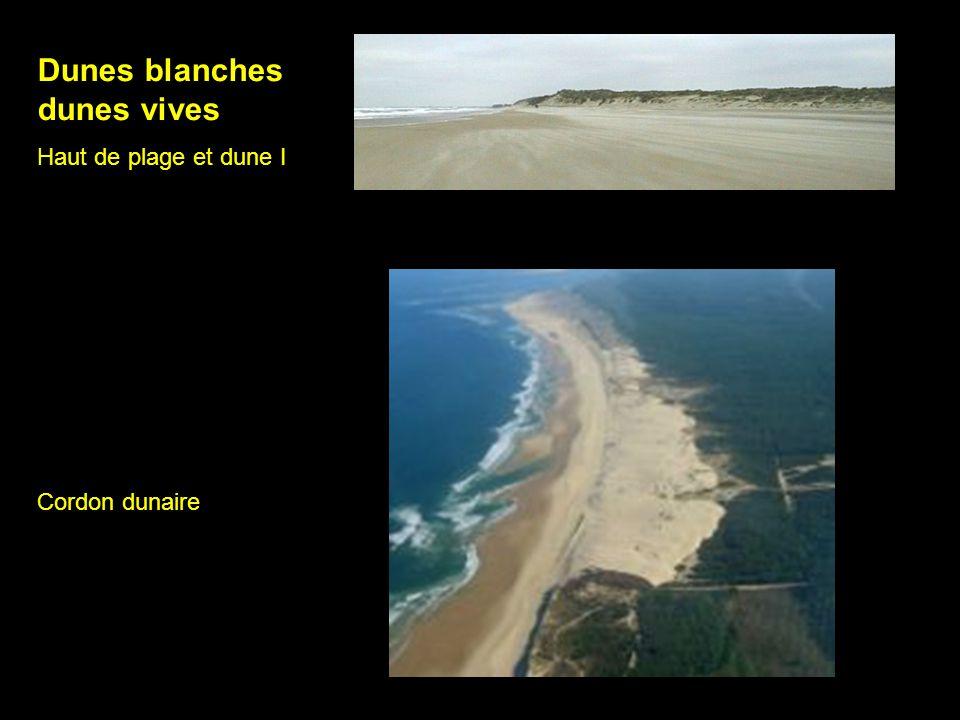 Dunes blanches dunes vives Haut de plage et dune I Cordon dunaire