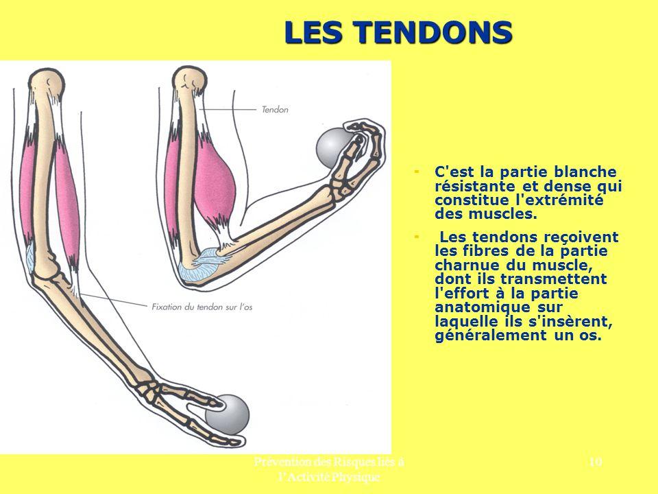 Prévention des Risques liés à lActivité Physique 10 LES TENDONS C'est la partie blanche résistante et dense qui constitue l'extrémité des muscles. Les