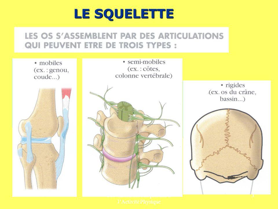Prévention des Risques liés à lActivité Physique 4 LES RISQUES SPÉCIFIQUES DU SQUELETTE SONT la fracture (chutes, chocs...