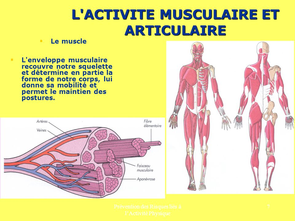 Prévention des Risques liés à lActivité Physique 7 L'ACTIVITE MUSCULAIRE ET ARTICULAIRE Le muscle L'enveloppe musculaire recouvre notre squelette et d