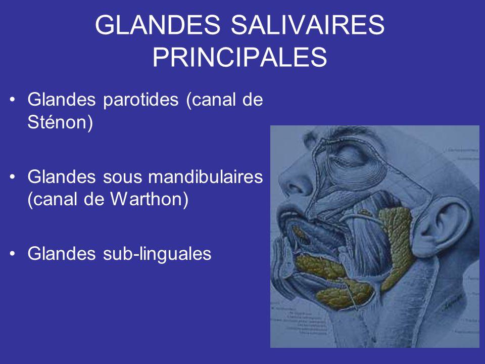 GLANDES SALIVAIRES PRINCIPALES Glandes parotides (canal de Sténon) Glandes sous mandibulaires (canal de Warthon) Glandes sub-linguales