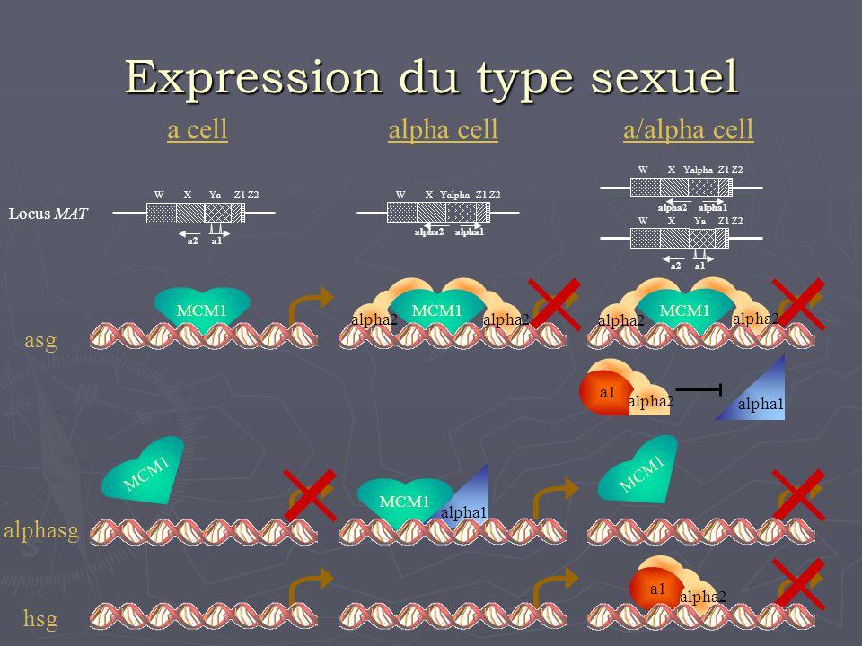 a cell alpha cella/alpha cell Expression du type sexuel alpha2alpha1 WXYalphaZ1Z2 alpha2alpha1 WXYalphaZ1Z2 Locus MAT WXYaZ1Z2 a1a2a1 WXYaZ1Z2 a2 alph