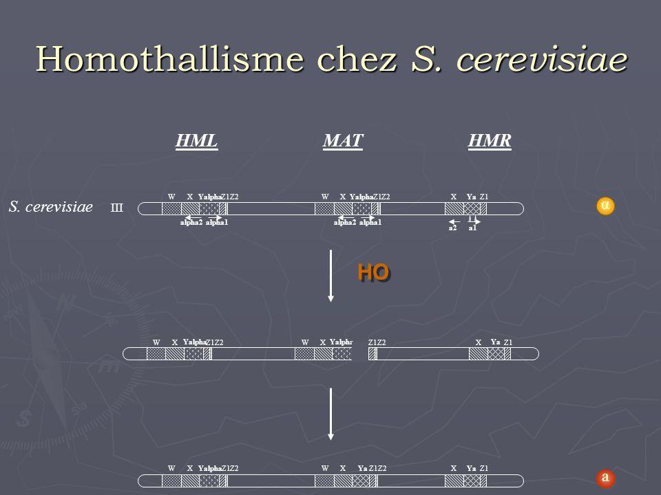 S. cerevisiae III alpha2alpha1 WXYalphaZ1Z2 alpha2alpha1 WXYalphaZ1Z2 a1a2 YaZ1X HML MATHMR WX Yalpha Z1Z2WX Yalpha Z1Z2 Ya Z1X HO WXYalphaZ1Z2WXYaZ1Z
