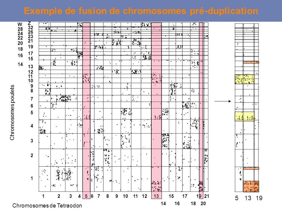 12345678910111213 14 15 16 17 18 19 20 21 Chromosomes de Tetraodon Chromosomes poulets Exemple de fusion de chromosomes pré-duplication 1 2 3 4 5 6 7