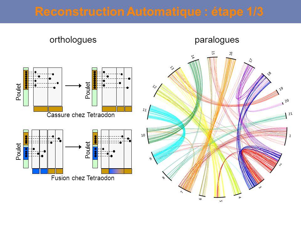 Reconstruction Automatique : étape 1/3 Cassure chez Tetraodon Poulet orthologuesparalogues Fusion chez Tetraodon Poulet