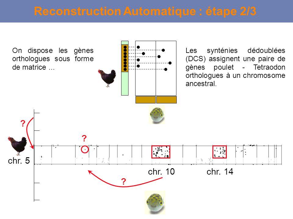 chr. 5 chr. 10 chr. 14 On dispose les gènes orthologues sous forme de matrice... Reconstruction Automatique : étape 2/3 ? ? ? Les synténies dédoublées