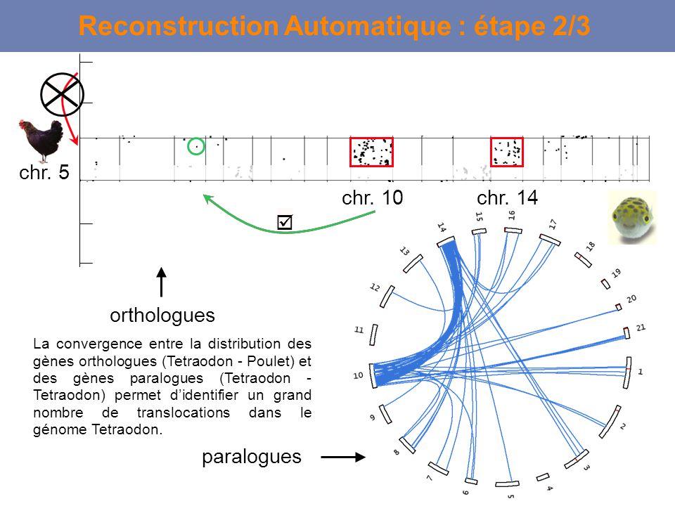 Reconstruction Automatique : étape 2/3 La convergence entre la distribution des gènes orthologues (Tetraodon - Poulet) et des gènes paralogues (Tetrao