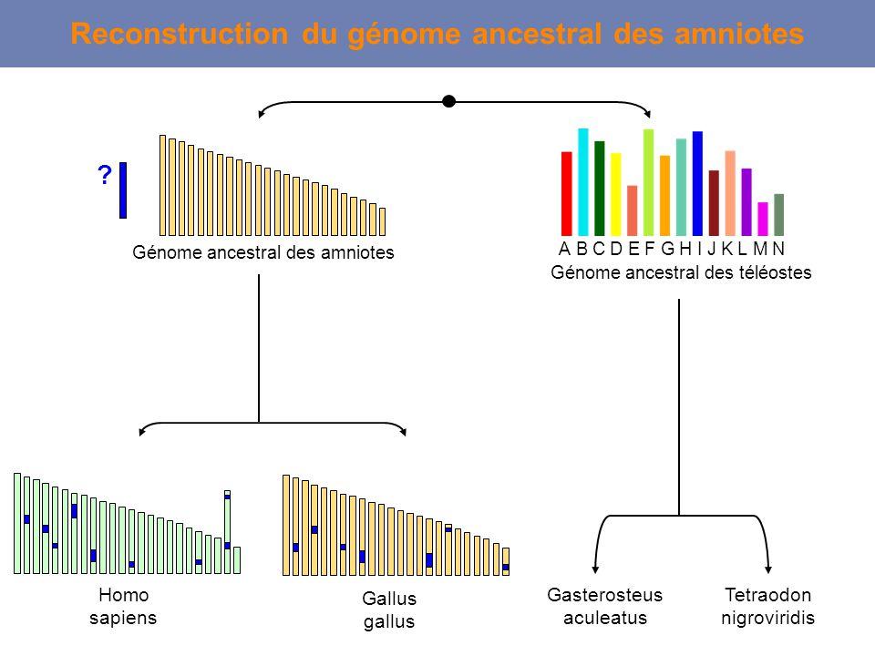 Homo sapiens Tetraodon nigroviridis Reconstruction du génome ancestral des amniotes ABCDEFGHKIJLMN Génome ancestral des téléostes Gallus gallus ? Géno