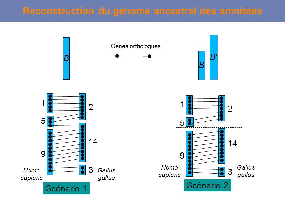 Reconstruction du génome ancestral des amniotes B B' Scénario 2 1 5 9 2 14 3 Homo sapiens Gallus gallus B Scénario 1 1 5 9 2 14 3 Homo sapiens Gallus