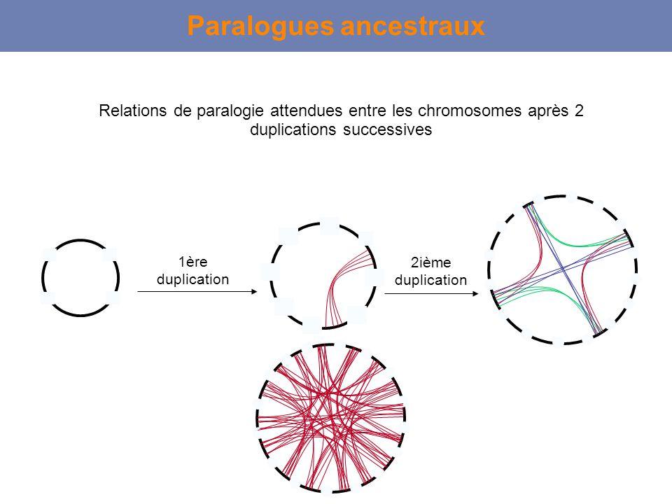 Paralogues ancestraux Relations de paralogie attendues entre les chromosomes après 2 duplications successives 1ère duplication 2ième duplication