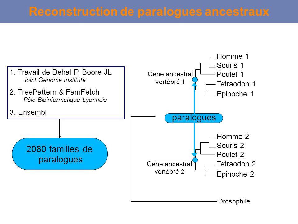 Reconstruction de paralogues ancestraux Drosophile Homme 1 Souris 1 Poulet 1 Tetraodon 1 Epinoche 1 Gene ancestral vertébré 1 Homme 2 Souris 2 Poulet