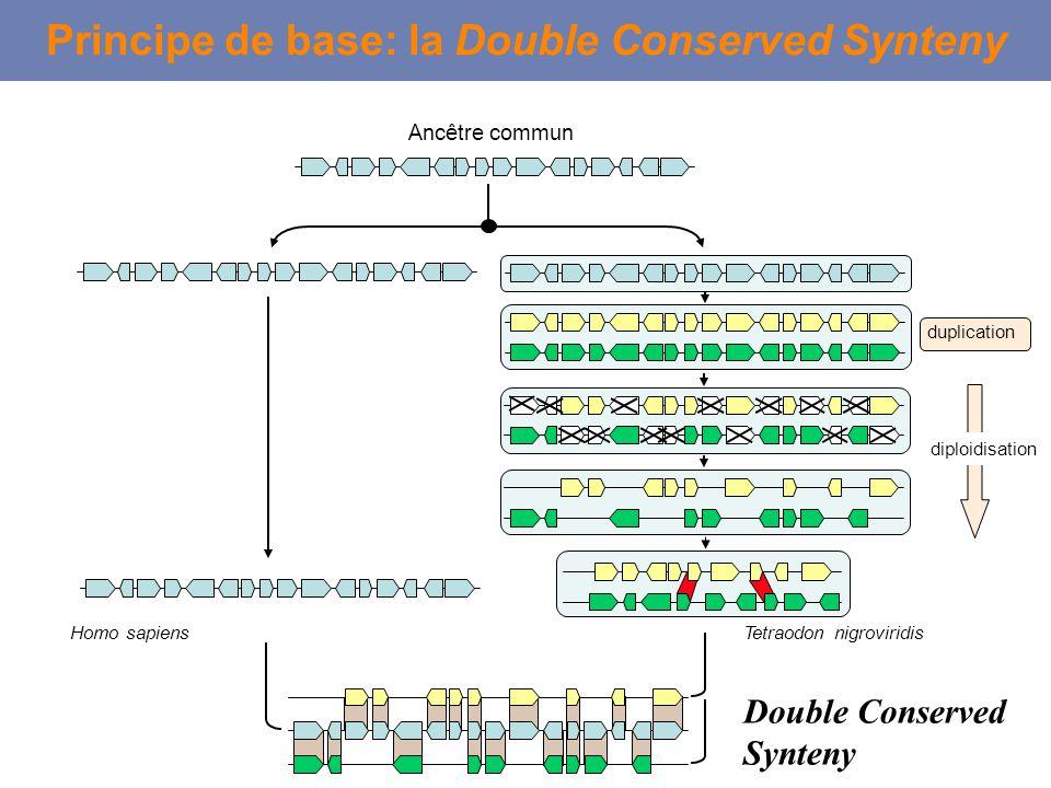 Double Conserved Synteny duplication Ancêtre commun Homo sapiensTetraodon nigroviridis Principe de base: la Double Conserved Synteny diploidisation