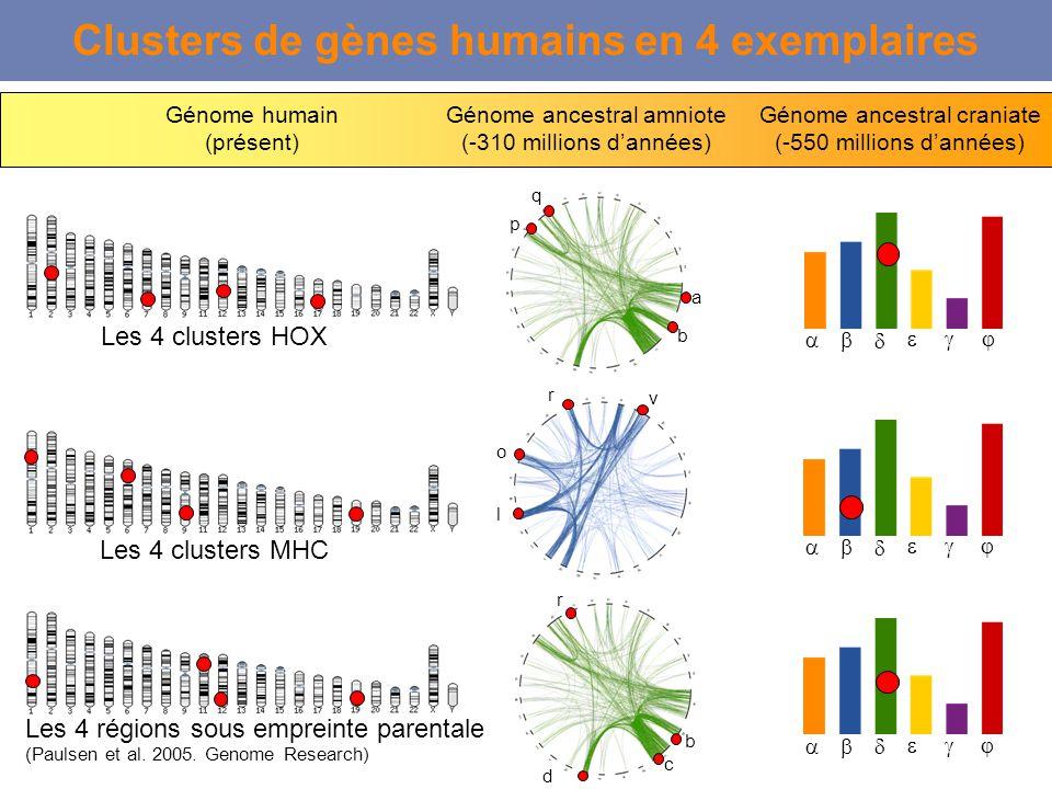 Clusters de gènes humains en 4 exemplaires Les 4 clusters HOX Génome humain (présent) Génome ancestral amniote (-310 millions dannées) Génome ancestra