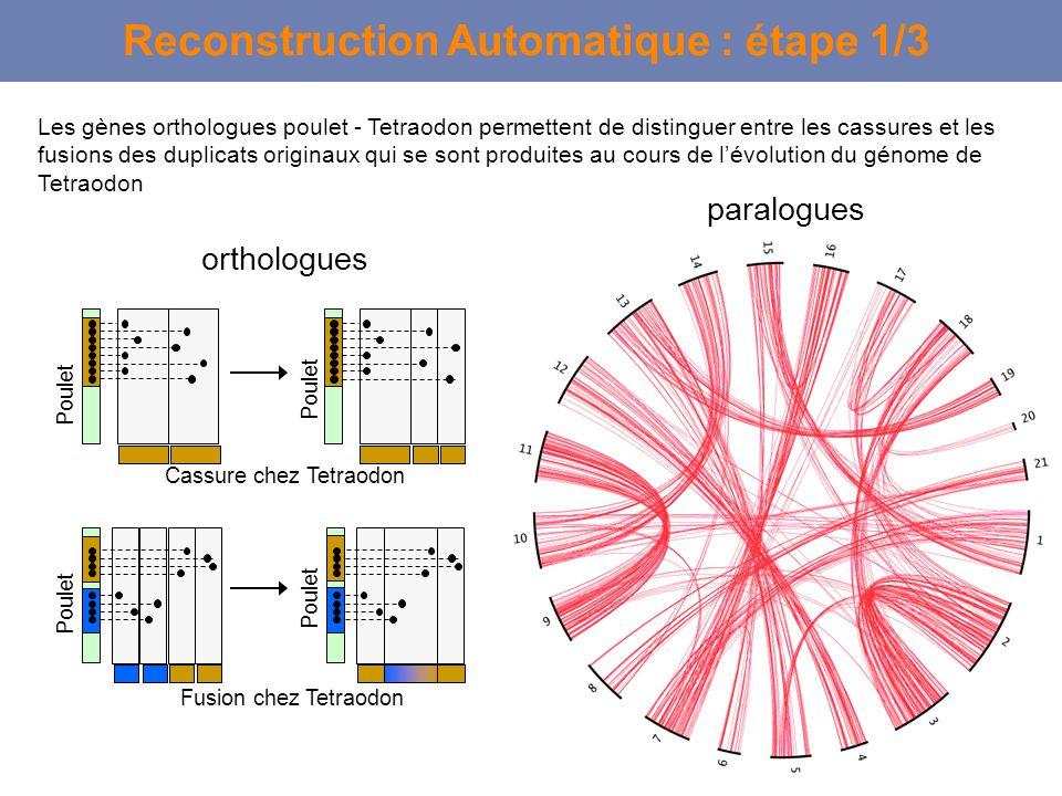 Reconstruction Automatique : étape 1/3 Cassure chez Tetraodon Poulet orthologues paralogues Fusion chez Tetraodon Poulet Les gènes orthologues poulet