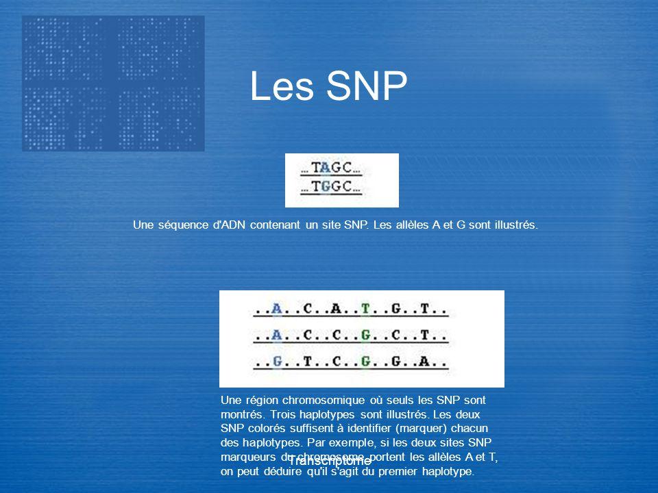 Transcriptome Une séquence d'ADN contenant un site SNP. Les allèles A et G sont illustrés. Une région chromosomique où seuls les SNP sont montrés. Tro