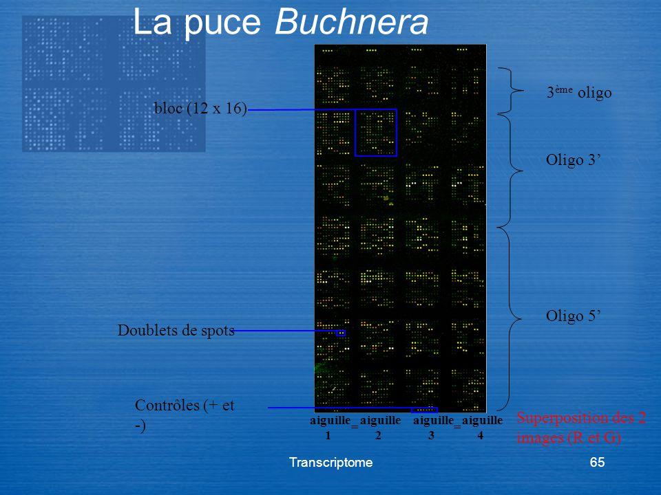 Transcriptome65 La puce Buchnera aiguille 1 aiguille 2 aiguille 3 aiguille 4 == bloc (12 x 16) Contrôles (+ et -) Doublets de spots Oligo 5 Oligo 3 3