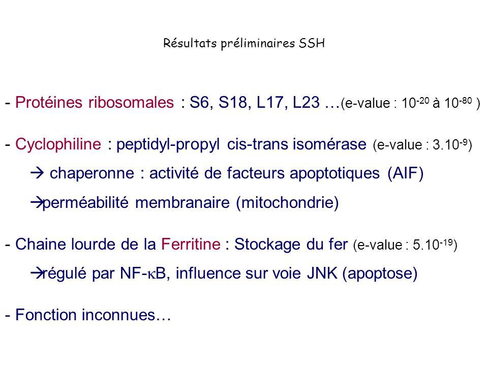Résultats préliminaires SSH - Protéines ribosomales : S6, S18, L17, L23 … (e-value : 10 -20 à 10 -80 ) - Cyclophiline : peptidyl-propyl cis-trans isom