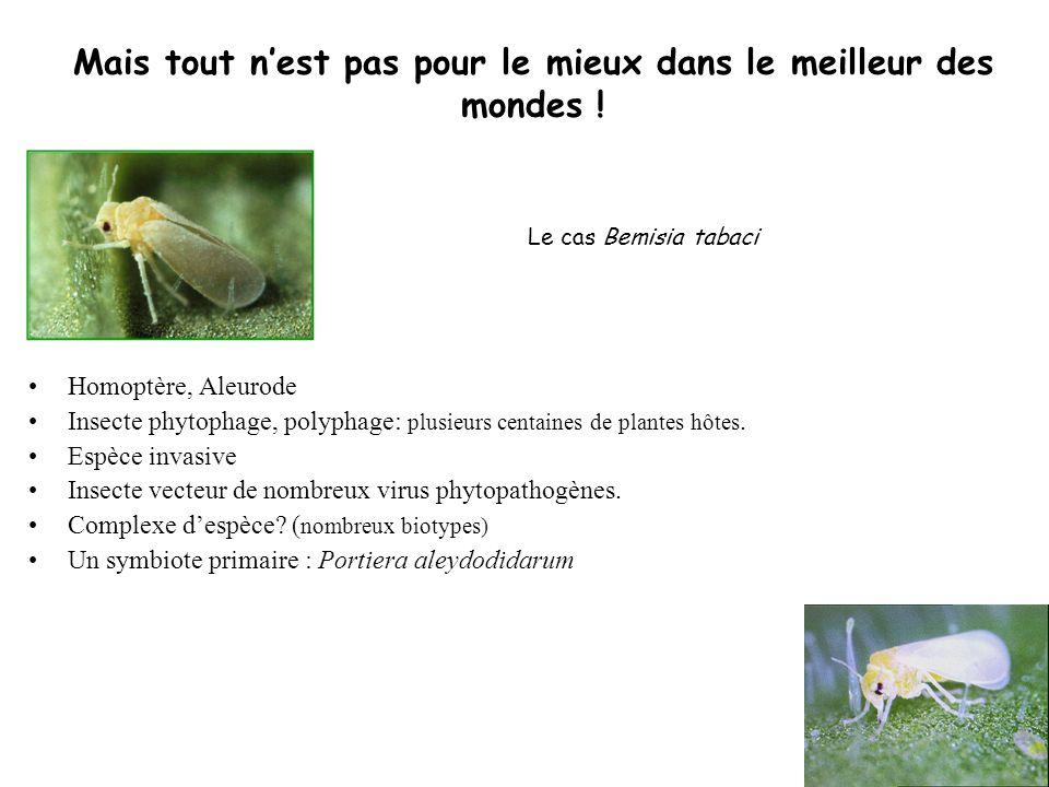 Le cas Bemisia tabaci Homoptère, Aleurode Insecte phytophage, polyphage: plusieurs centaines de plantes hôtes. Espèce invasive Insecte vecteur de nomb