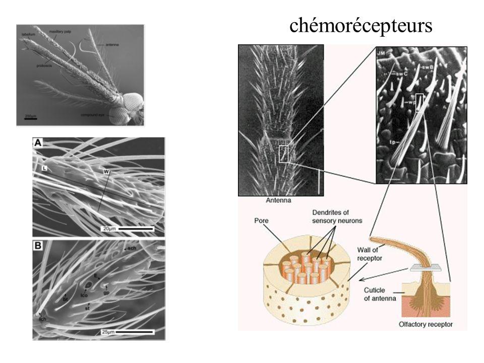 chémorécepteurs