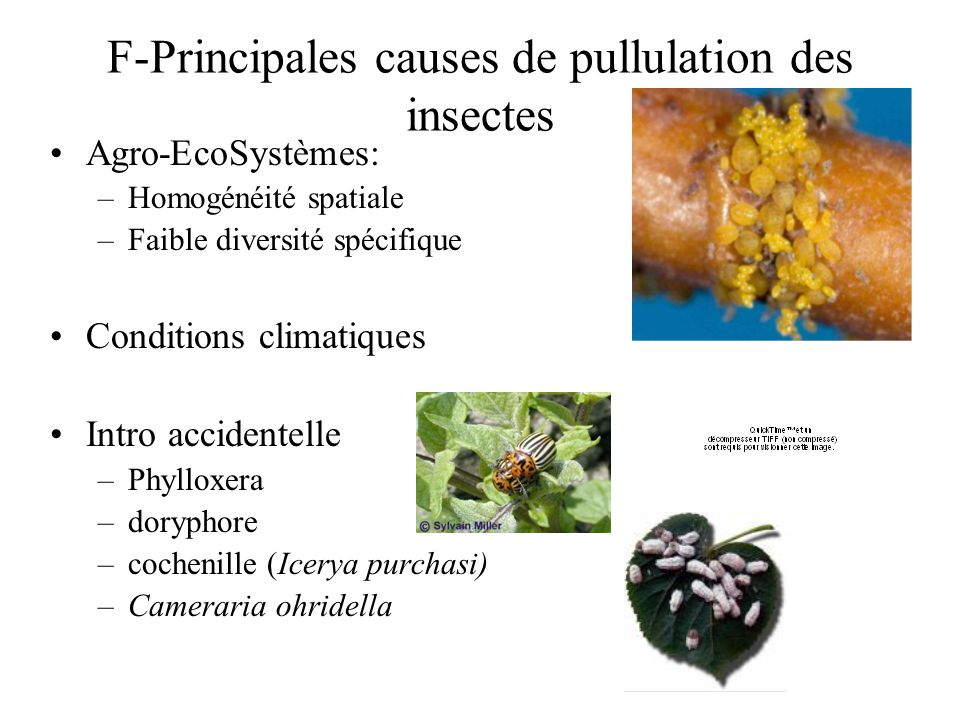 F-Principales causes de pullulation des insectes Agro-EcoSystèmes: –Homogénéité spatiale –Faible diversité spécifique Conditions climatiques Intro accidentelle –Phylloxera –doryphore –cochenille (Icerya purchasi) –Cameraria ohridella