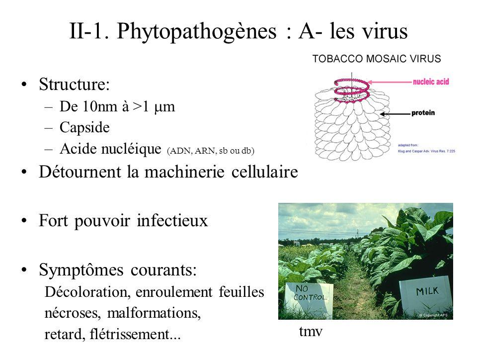 II-1. Phytopathogènes : A- les virus Structure: –De 10nm à >1 m –Capside –Acide nucléique (ADN, ARN, sb ou db) Détournent la machinerie cellulaire For