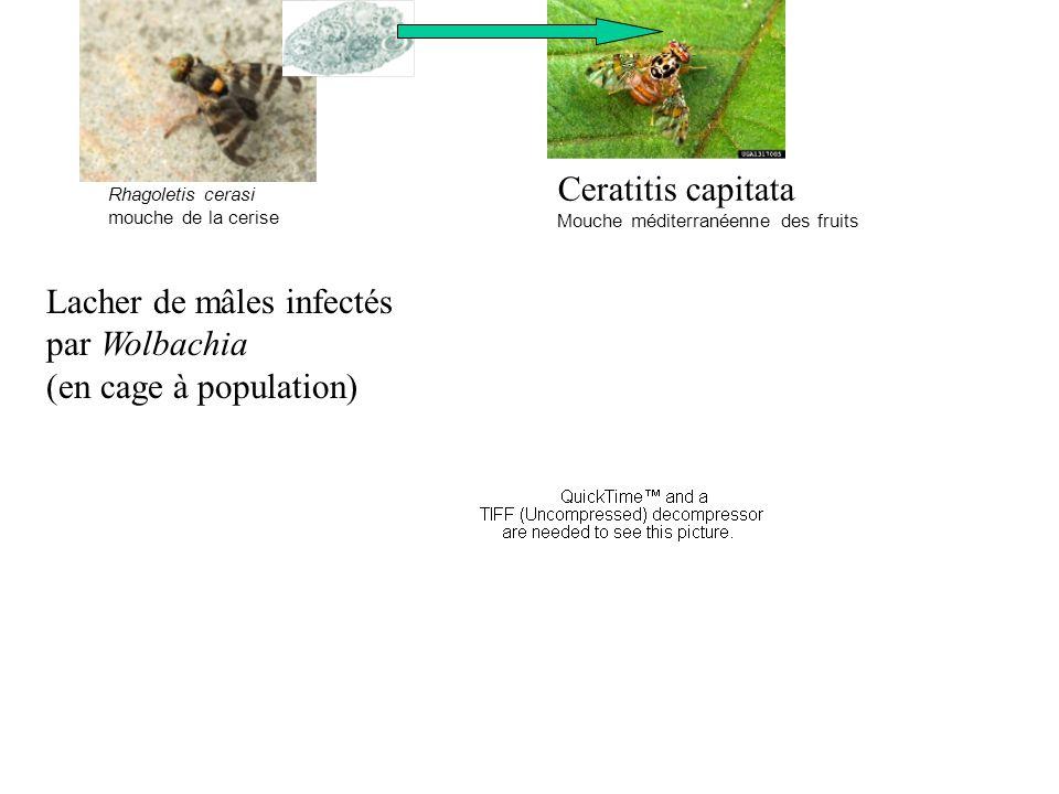 Rhagoletis cerasi mouche de la cerise Ceratitis capitata Mouche méditerranéenne des fruits Lacher de mâles infectés par Wolbachia (en cage à populatio