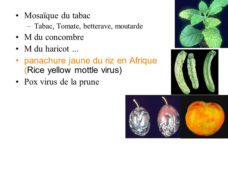 Mosaïque du tabac –Tabac, Tomate, betterave, moutarde M du concombre M du haricot... panachure jaune du riz en Afrique (Rice yellow mottle virus) Pox