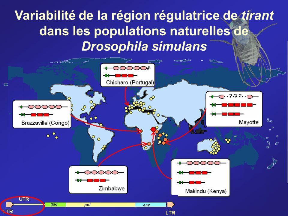 Variabilité de la région régulatrice de tirant dans les populations naturelles de Drosophila simulans