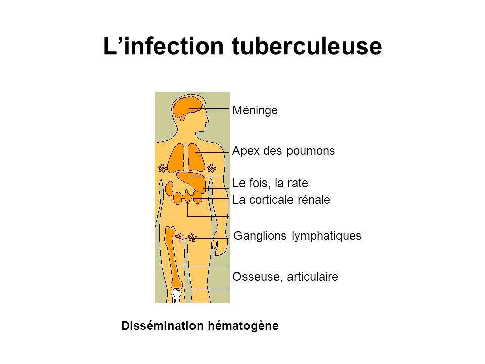 Linfection tuberculeuse Méninge Apex des poumons Le fois, la rate La corticale rénale Ganglions lymphatiques Osseuse, articulaire Dissémination hématogène
