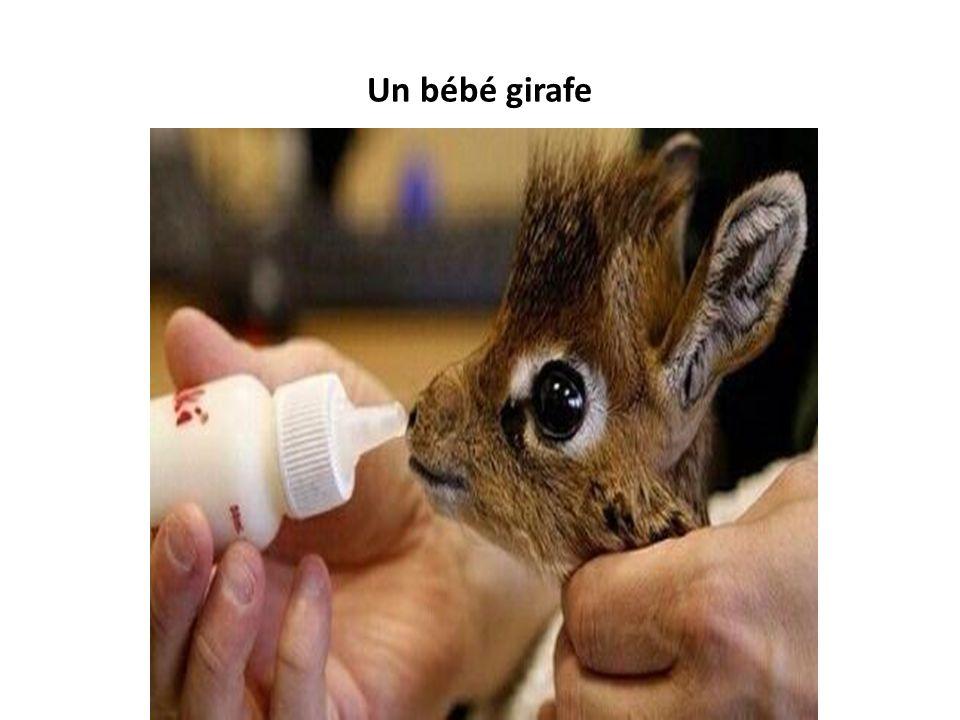Un bébé girafe