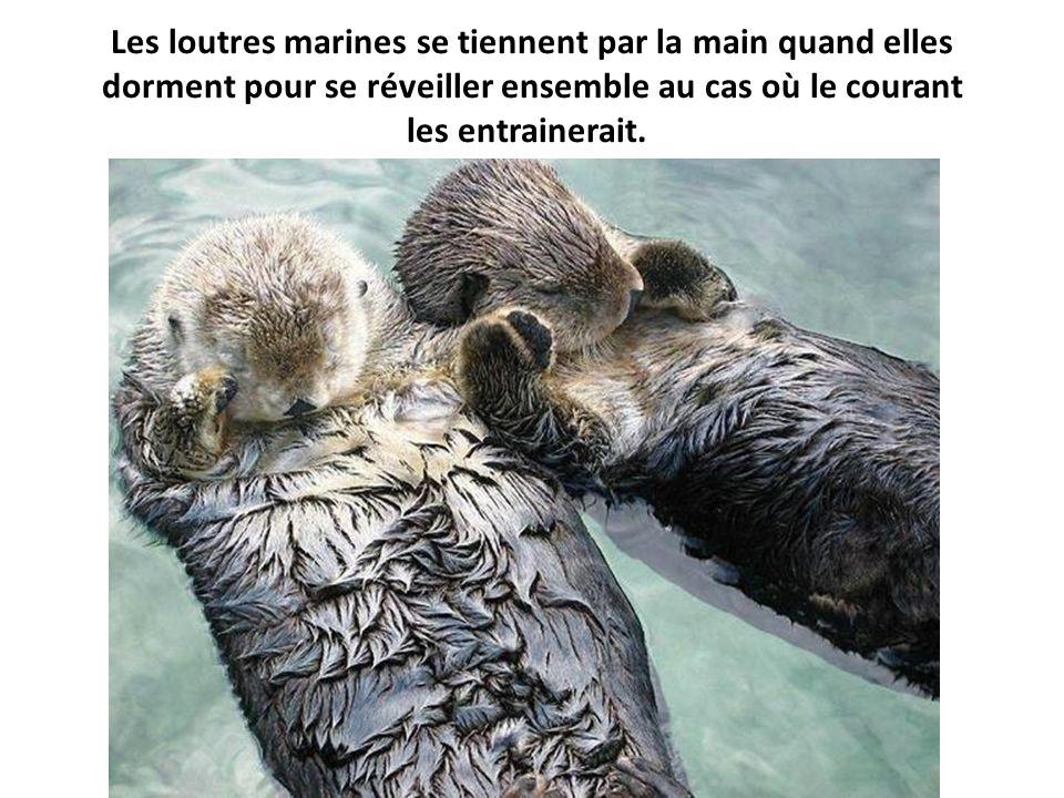 Les loutres marines se tiennent par la main quand elles dorment pour se réveiller ensemble au cas où le courant les entrainerait.