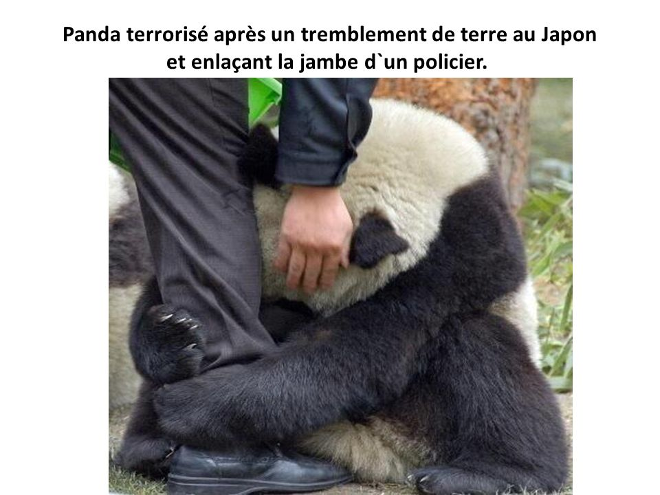 Panda terrorisé après un tremblement de terre au Japon et enlaçant la jambe d`un policier.
